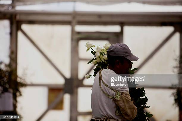 An employee gathers roses at the Dramm Echter growing facility in Encinitas California US on Tuesday Nov 12 2013 The US Census Bureau is scheduled to...