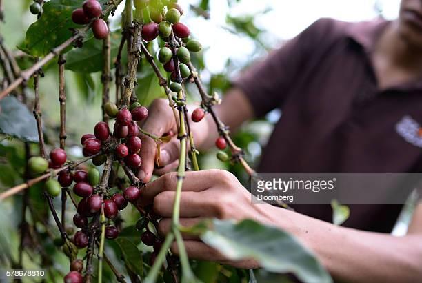 An employee harvests Arabica coffee cherries at the Solok Radjo Cooperative coffee farm in Alahan Panjang West Sumatra Indonesia on Friday July 15...