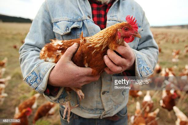 An employee holds a Bond Red hen at the Mulloon Creek Natural Farm in Bungendore, Australia, on Thursday, July 30, 2015. Australia's gross domestic...