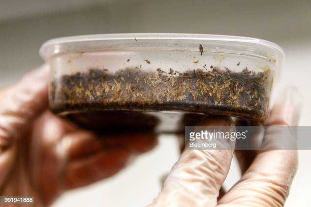 An employee holds a box of cricket eggs on the Siikonen family farm in Forssa Finland on Tuesday June 26 2018 On their 500yearold homestead in...