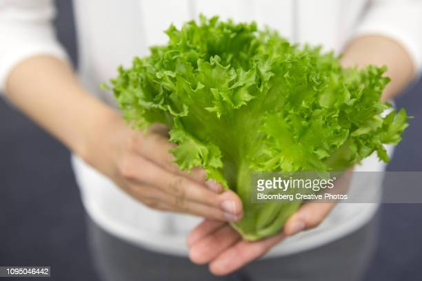 an employee holds a head of lettuce grown in an indoor farm - green salad stock pictures, royalty-free photos & images