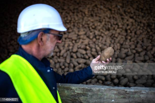 An employee holds a potatoe at the McCain French fries factory in Matougues on May 17, 2019.