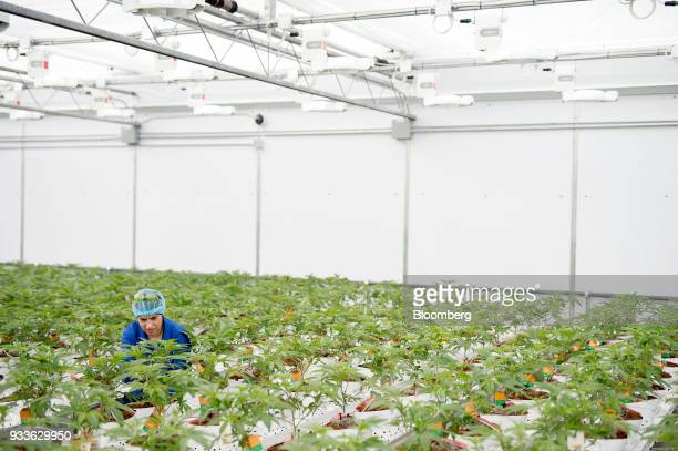 An employee inspects cannabis plants in a greenhouse at the 7ACRES facility in Tiverton Ontario Canada on Tuesday March 13 2018 Leaders in the Senate...