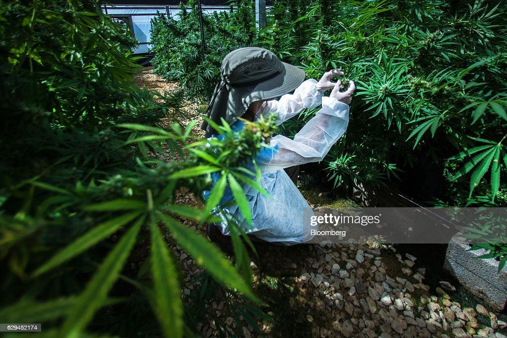 An employee inspects growing cannabis plants in a greenhouse operated by Breath of Life (B.O.L.), in Kfar Pines, Israel, on Wednesday, Sept. 21, 2016. Breath of Life is one of eight licensed firms seeking to position Israel as a global hub for medical cannabis research. Photographer: Rina Castelnuovo/Bloomberg via Getty Images