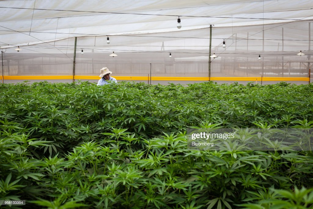 An employee inspects marijuana mother plants at the PharmaCielo Ltd. facility in Rionegro, Colombia, on Thursday, April 26, 2018. Following the 2015 legalization of medical marijuana by Colombian President Juan Manuel Santos, the Canadian company PharmaCielo opened an operational base in the South American country, becoming the first company to apply for and receive the Colombian licences for cannabis cultivation. Photographer: Eduardo Leal/Bloomberg via Getty Images