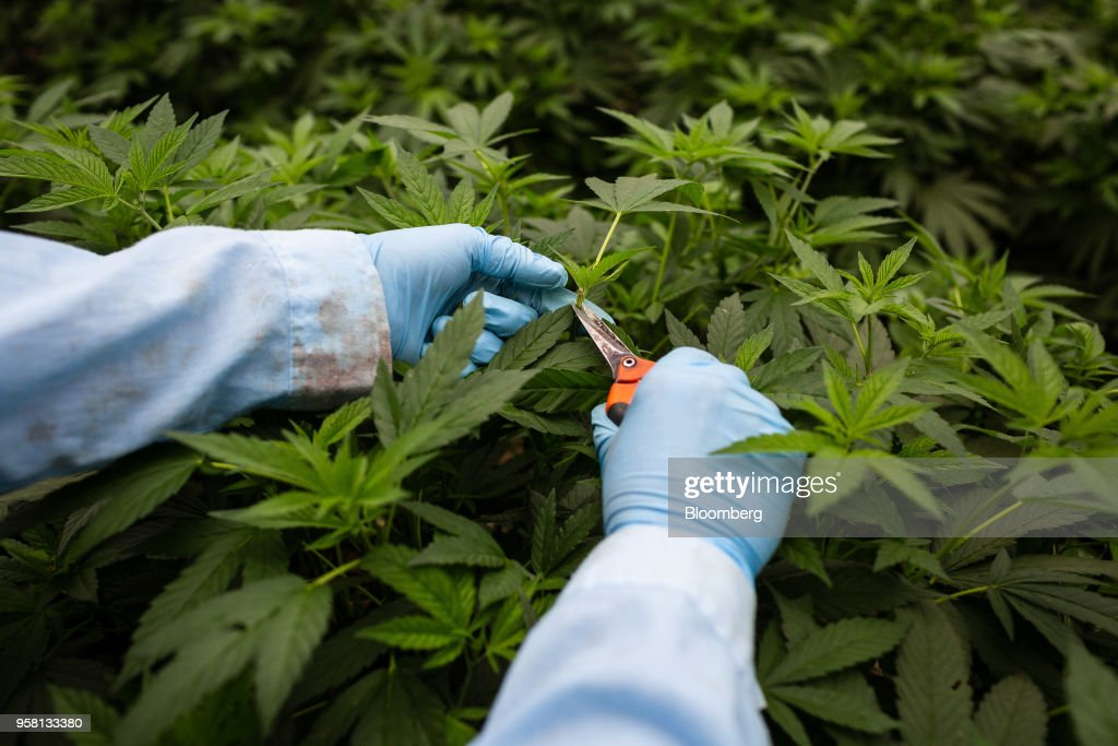 An employee makes cuts from a mother marijuana plants to grow clones at the PharmaCielo Ltd. facility in Rionegro, Colombia, on Thursday, April 26, 2018. Following the 2015 legalization of medical marijuana by Colombian President Juan Manuel Santos, the Canadian company PharmaCielo opened an operational base in the South American country, becoming the first company to apply for and receive the Colombian licences for cannabis cultivation. Photographer: Eduardo Leal/Bloomberg via Getty Images