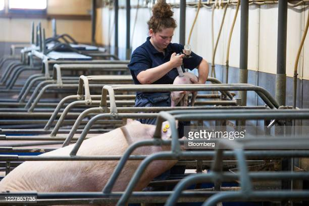 An employee marks a piglet after giving it an antibiotic injection at a farm in Driffield, U.K., on Friday, July 31, 2020. The U.K.'s farming...