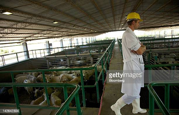 An employee monitors cattle awaiting slaughter at the FrigoChorti slaughterhouse in Loma Plata Paraguay on Tuesday March 13 2012 Paraguay beef sales...