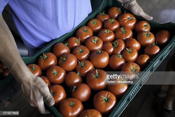 An employee moves a tray of fresh green house tomatoes at the Clear Brook Organic Farm August 4, 2011 in Shaftsbury, Vermont. The 200-plus acre farm...