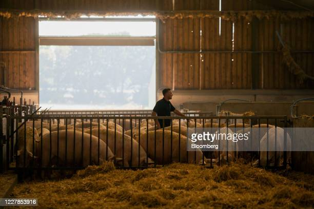 An employee moves amongst sow pigs in a pen at a farm in Driffield, U.K., on Friday, July 31, 2020. The U.K.'s farming industry sends about...