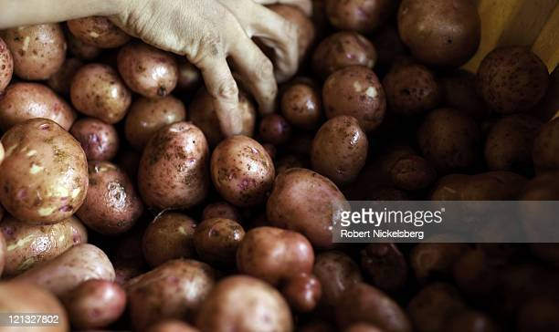 An employee moves fresh redskin potatoes of fresh rainbow carrots at the Clear Brook Organic Farm August 4, 2011 in Shaftsbury, Vermont. The 200-plus...