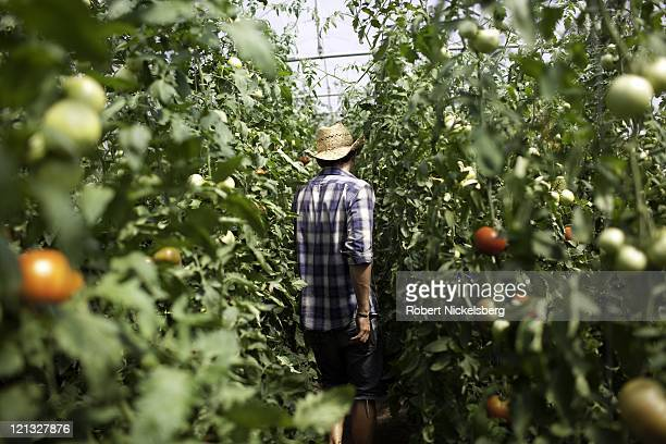 An employee moves through a green house growing tomatoes at the Clear Brook Organic Farm August 3 2011 in Shaftsbury Vermont The 200plus acre farm...