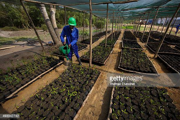 An employee of a mangrove nursery in Beira poured the seedlings with water on September 28 2015 in Beira Mozambique