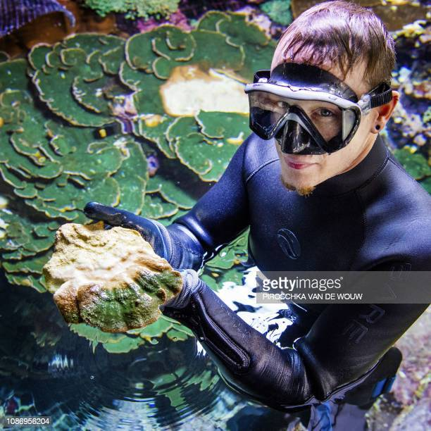 An employee of Burgers Zoo in Arnhem removes coral from a growing basin on January 23 2019 Over 300 homegrown coral sea anemones and coral fish are...