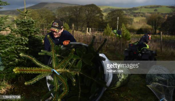An employee of Clayton Fold Christmas Tree Farm is seen preparing Nordmann Fir and Norway Spruce trees before they go on sale during the Christmas...
