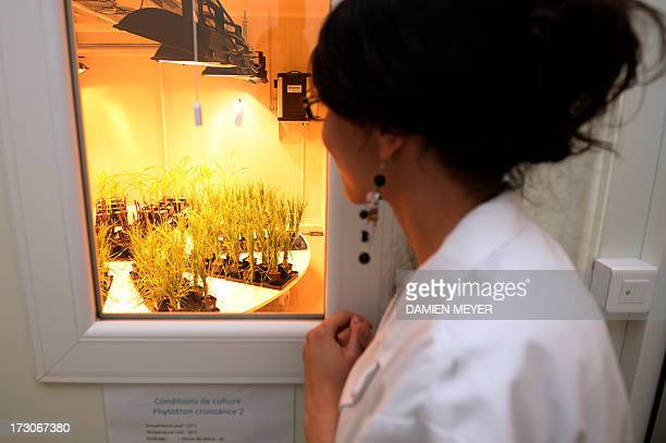 An employee of Goemar a society specialised in sustainable technologies for agriculture looks at plants on July 5 2013 at the company plant in...