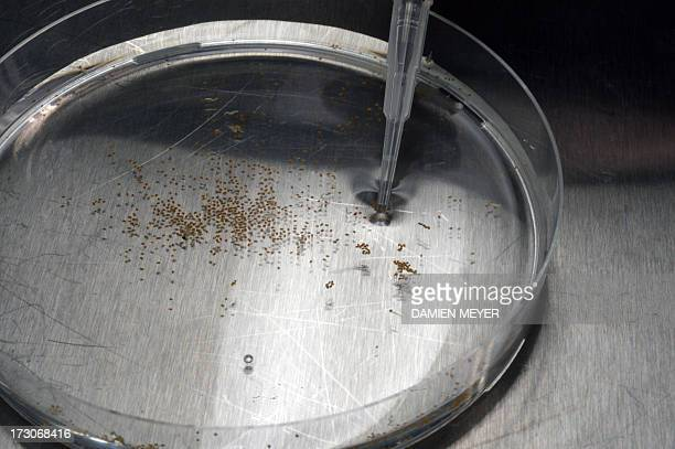 An employee of Goemar a society specialised in sustainable technologies for agriculture collects seeds for analysis on July 5 2013 at the company...