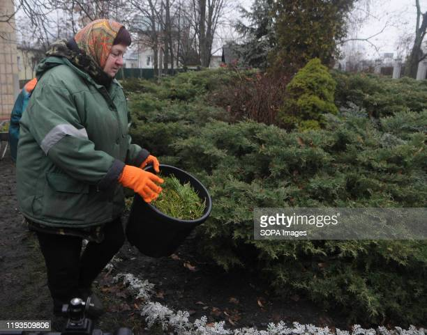 An employee of KP Kyivzelenbud carries out mulching on the holes of evergreen plants with wood chips at a collection point for New Year trees at the...