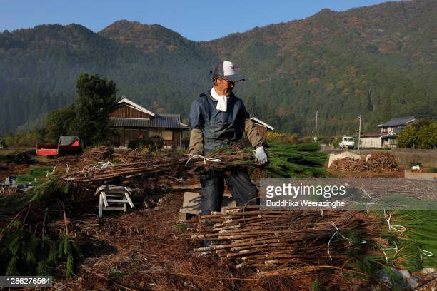 An employee of Nagomi Farm gathers bundles of freshly harvested three-year-old Wakamatsu trees in a field prior to them being prepared for shipping...
