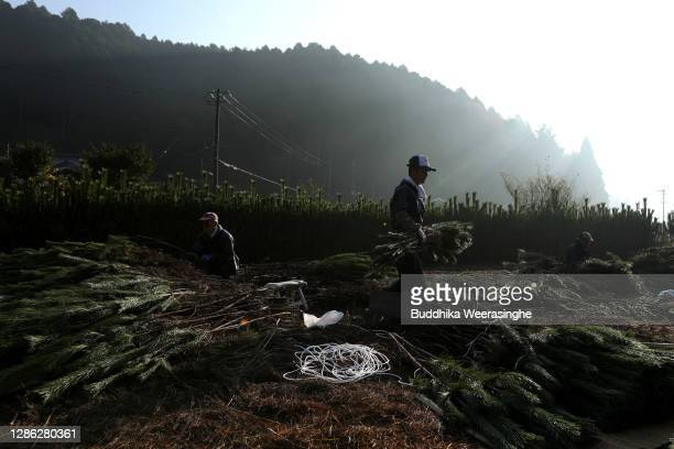 An employee of Nagomi Farm gathers bundles of freshly harvested three-year-old Wakamatsu trees in a field prior to the being prepared for shipping on...