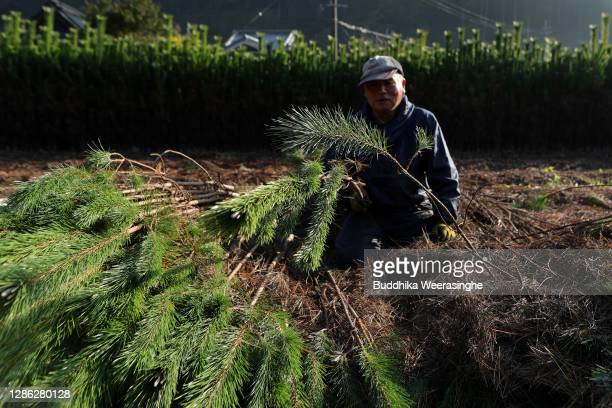 An employee of Nagomi Farm sorts freshly harvested three-year-old Wakamatsu trees in a field prior to them being prepared for shipping on November...