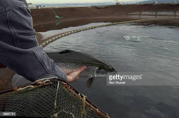 An employee of Pan Fish USA a salmon fish farm holds up a farmed salmon on January 13 2004 in Bainbridge Island Washington Health and fishing...
