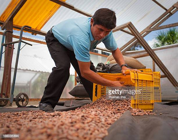 An employee of the Agricultural Cooperative Tochace is packing cocoa beans in a box