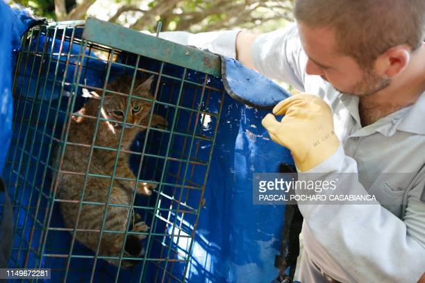 An employee of the French Forest and Hunting Office CharlesAntoine Cecchini looks at a ghjattuvolpe Felis Silvestris trapped in a cage on June 12...