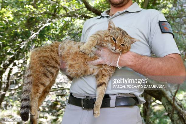 An employee of the French Forest and Hunting Office CharlesAntoine Cecchini holds a ghjattuvolpe Felis Silvestris on June 12 2019 in Asco on the...