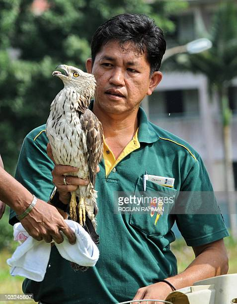 An employee of the Jurong Bird Park in Singapore takes a look at a rescued Eastern Honey Buzzard it is released into the wild on August 5, 2010 after...