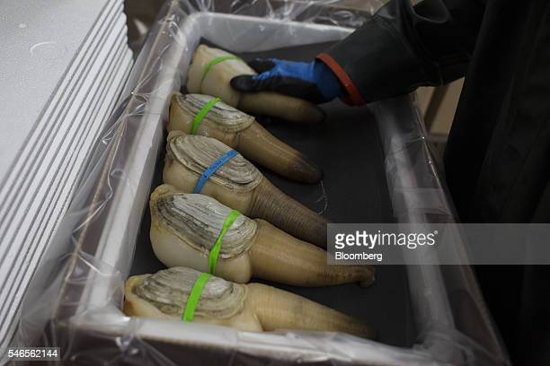 An employee packages geoducks for shipment at a Taylor Shellfish Co processing facility in Shelton Washington US on Tuesday May 10 2016 Geoducks are...