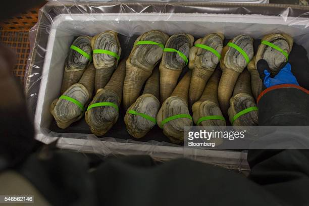 An employee packages geoducks for shipment at a Taylor Shellfish Company processing facility in Shelton Washington on Tuesday May 10 2016 Geoducks...