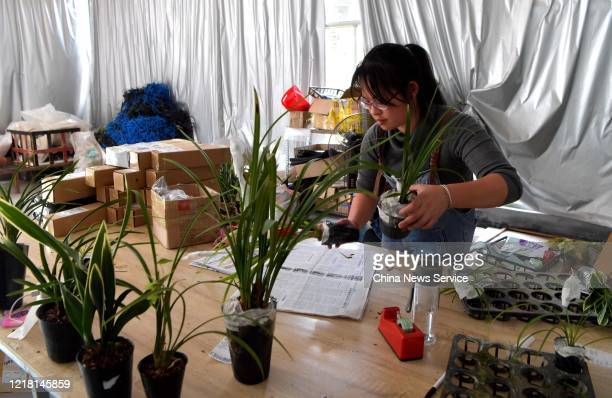 An employee packages sold Cymbidium orchid at a biological technology company amid the coronavirus outbreak on April 10 2020 in Qingliu County Fujian...