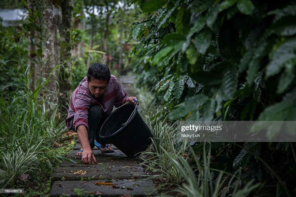 An employee picks up civet cat faeces inside a 'Kopi Luwak' or Civet coffee farm and cafe on May 28, 2013 in Landih, Bali, Indonesia. World Society for the Protection of Animals (WSPA) commissioned research showing the true cost of the world's most expensive coffee, thousands of civets are being poached from the wild, kept in inhumane, conditions, and farmed to meet the growing global demand for civet coffee. The BBC are broadcasting a documentary on the Civets as part of their 'Our World' series this evening at 2300.