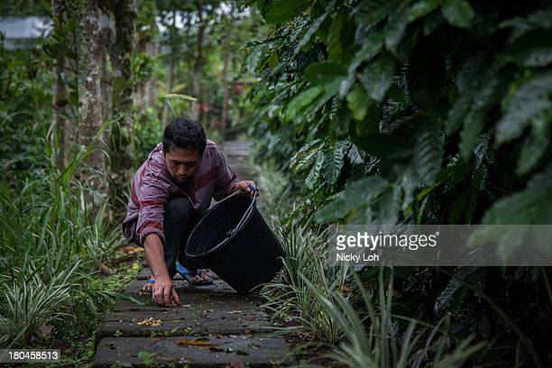 An employee picks up civet cat faeces inside a 'Kopi Luwak' or Civet coffee farm and cafe on May 28 2013 in Landih Bali Indonesia World Society for...