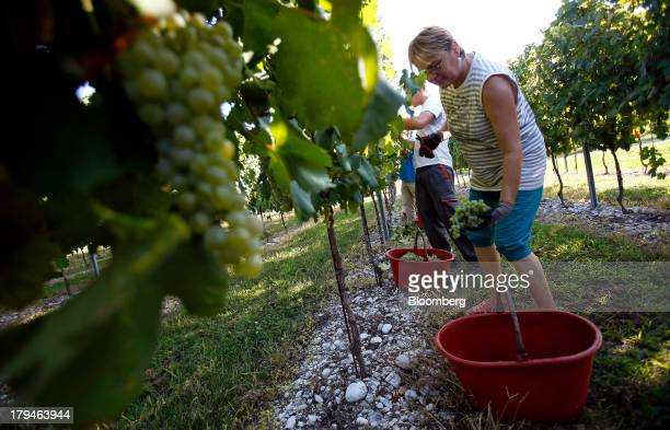 An employee places a freshly picked bunch of grapes grown for their use in Prosecco wine into a bucket on the first day of the grape harvest at I...