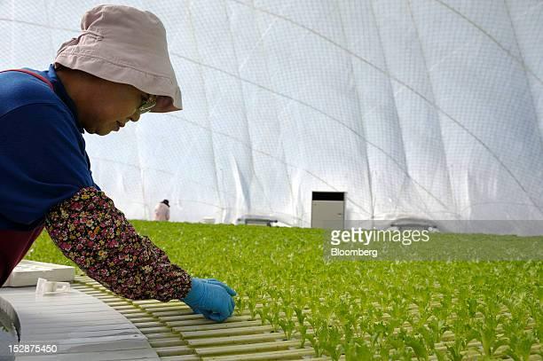 An employee plants lettuce seedlings in a vegetable plant at Granpa Farm Rikuzentakata in Rikuzentakata City Iwate Prefecture Japan on Wednesday Sept...