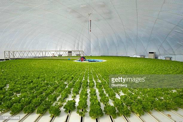 BEST PHOTOS OF 2012 An employee plants lettuce seedlings in a vegetable plant at Granpa Farm Rikuzentakata in Rikuzentakata City Iwate Prefecture...
