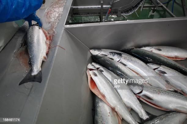 FRENCH 'LE SEUL ELEVAGE DE SAUMONS EN MER EN FRANCE REGARDE LES NORVEGIENS DE HAUT' An employee prepares salmons at the salmon breeding farm 'Saumon...