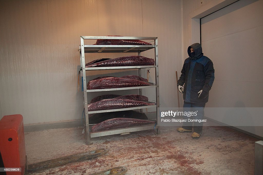 An employee prepares to store a shelve with bluefin tuna pieces inside a tunnel that will froze them at minus 60 degrees Celsius of temperature in a fish plant during the end of the Almadraba tuna fishing season on June 3, 2014 in Barbate, Cadiz province, Spain. Almadraba is a traditional bluefin tuna fishing method in Southern Spain already used during Phoenician and Romans times. Fishers place mazes of nets to catch tuna migrating from the Atlantic Ocean to the Mediterranean Sea and select those that have the best size. Almadraba tuna is well demanded by Japanese for its quality. Today fishers use a different technique to control the catch amount by releasing many of the bluefin tunas before hauling the nets to avoid exceeding their limited quota fixed by International Commission for the Conservation of Atlantic Tunas 'ICCACT'. Almadraba fishers association claim the fishing quota could now be increased as fishers are struggling and the tuna population has recovered quite well.