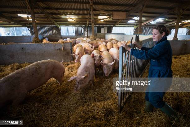 An employee releases sow pigs from a pen at a farm in Driffield, U.K., on Friday, July 31, 2020. The U.K.'s farming industry sends about two-thirds...