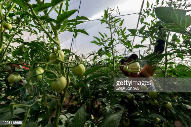 An employee removes dying leaves at the tomato greenhouses of the gazpacho-making AMC INNOVA factory in Mazarron near Murcia on August 18, 2020. -...