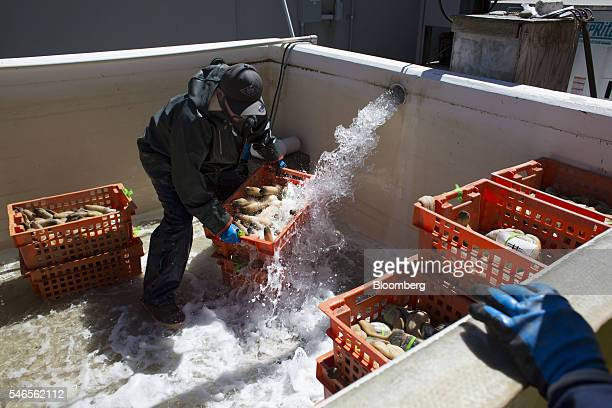 An employee rinses a crate of geoducks at a Taylor Shellfish Co processing facility in Shelton Washington US on Tuesday May 10 2016 Geoducks are the...