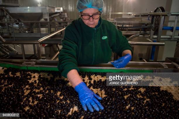 An employee selects olives on the packaging production line at the Agro Sevilla olive factory in La Roda de Andalucia on April 12 2018 AgroSevilla...