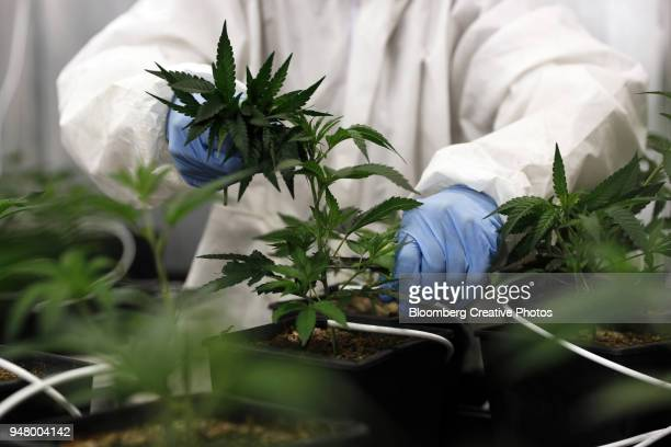 An employee takes cuttings from a cannabis mother plant