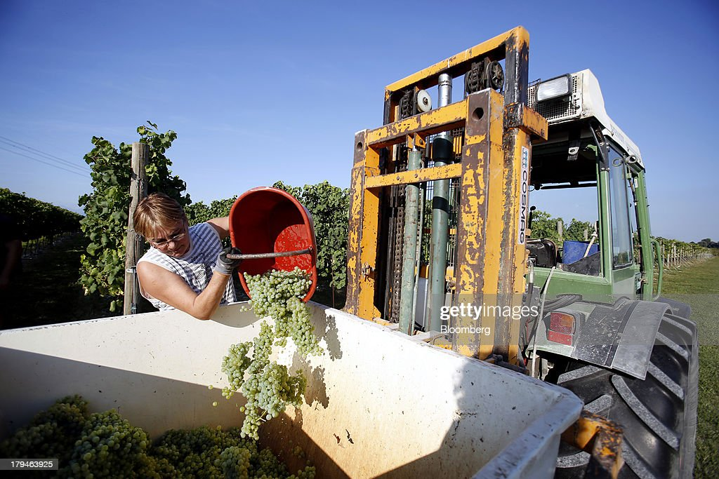 An employee tips freshly picked grapes, grown for their use in Prosecco wine, into a truck on the first day of the grape harvest at I Magredi vineyard in Pordenone, Italy, on Tuesday, Sept. 3, 2013. Italy's Agriculture Ministry has begun to investigate suspected sales of imitation Prosecco sparkling wine in its native Veneto region. Photographer: Alessia Pierdomenico/Bloomberg via Getty Images