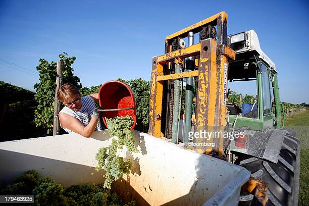 An employee tips freshly picked grapes grown for their use in Prosecco wine into a truck on the first day of the grape harvest at I Magredi vineyard...