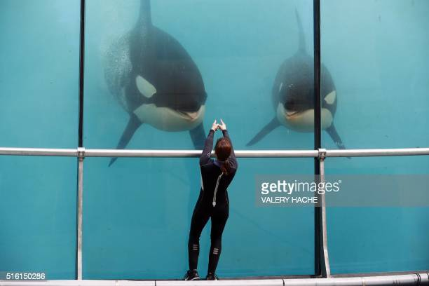 TOPSHOT An employee trains orcas in a pool water of the Marineland theme park on the French riviera city of Antibes southeastern France on March 17...