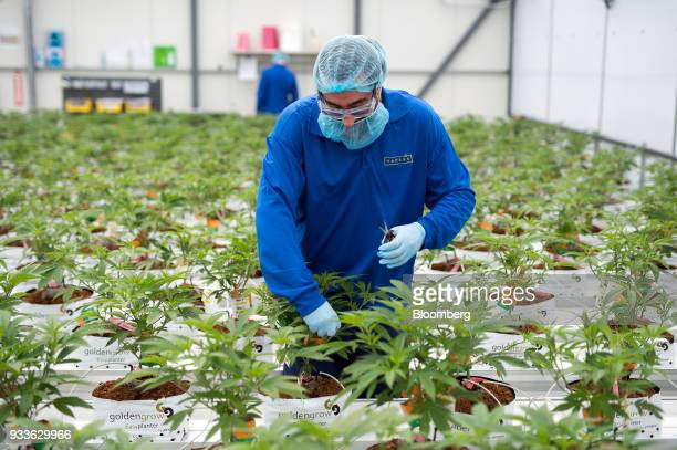 An employee trims cannabis plants in a greenhouse at the 7ACRES facility in Tiverton Ontario Canada on Tuesday March 13 2018 Leaders in the Senate...