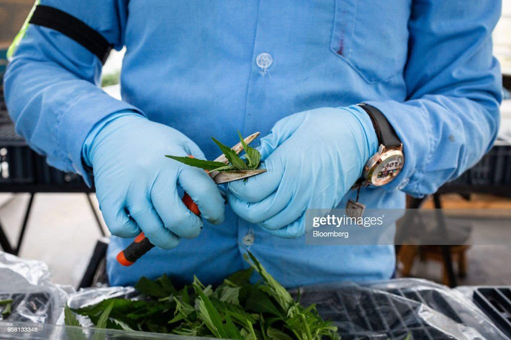 An employee trims marijuana plants at the PharmaCielo Ltd. facility in Rionegro, Colombia, on Thursday, April 26, 2018. Following the 2015 legalization of medical marijuana by Colombian President Juan Manuel Santos, the Canadian company PharmaCielo opened an operational base in the South American country, becoming the first company to apply for and receive the Colombian licences for cannabis cultivation. Photographer: Eduardo Leal/Bloomberg via Getty Images